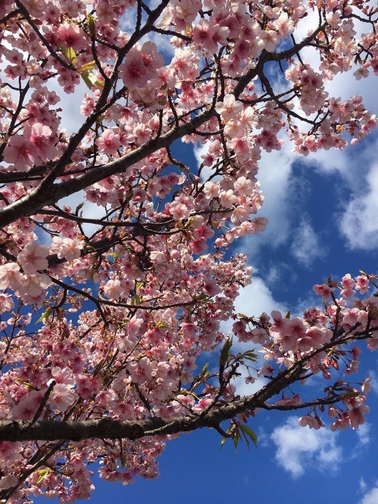 ひと足先に春が来た!~伊東小室桜~